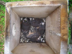 Four Northern Saw-whet Owl nestlings found in a nest box intended for Eastern Screech-owls and American Kestrels.