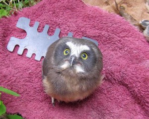 Nestling saw-whet owl with the author's leg gauge